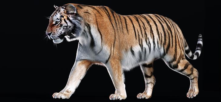 Realistic Siberian Tiger Model - BlenderNation